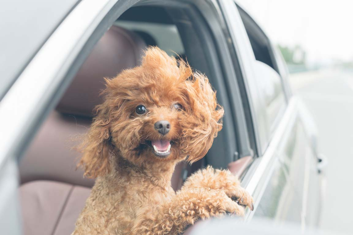 puppy with head out of open gray car door window